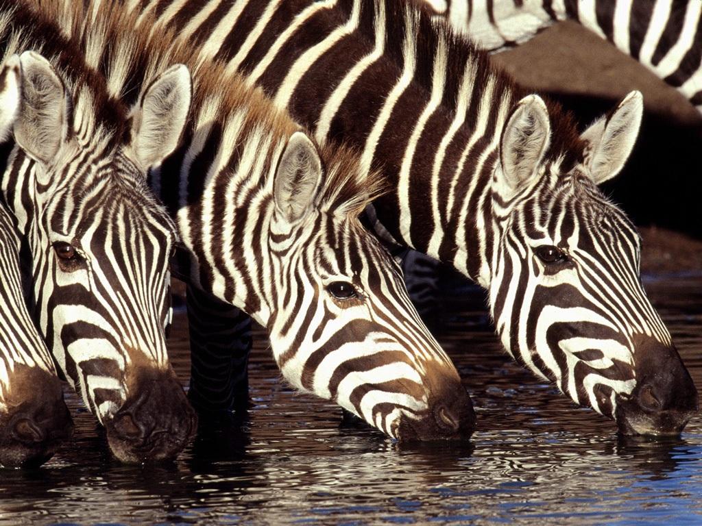 縞馬 壁紙 - Zebra WALLPAPER