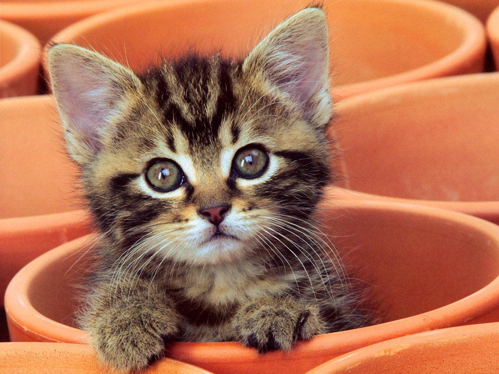 子猫 壁紙 - Kitten WALLPAPER
