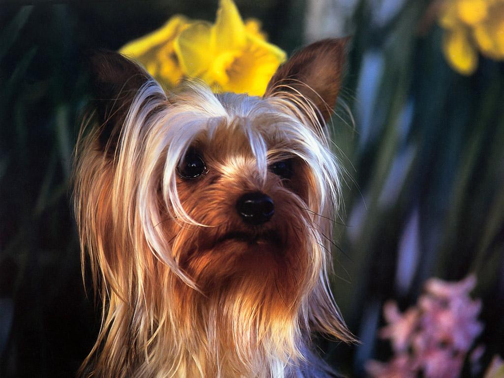 シルキー・テリア 壁紙 - Silky Terrier WALLPAPER