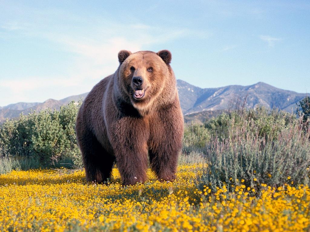 熊 壁紙 - Bear WALLPAPER