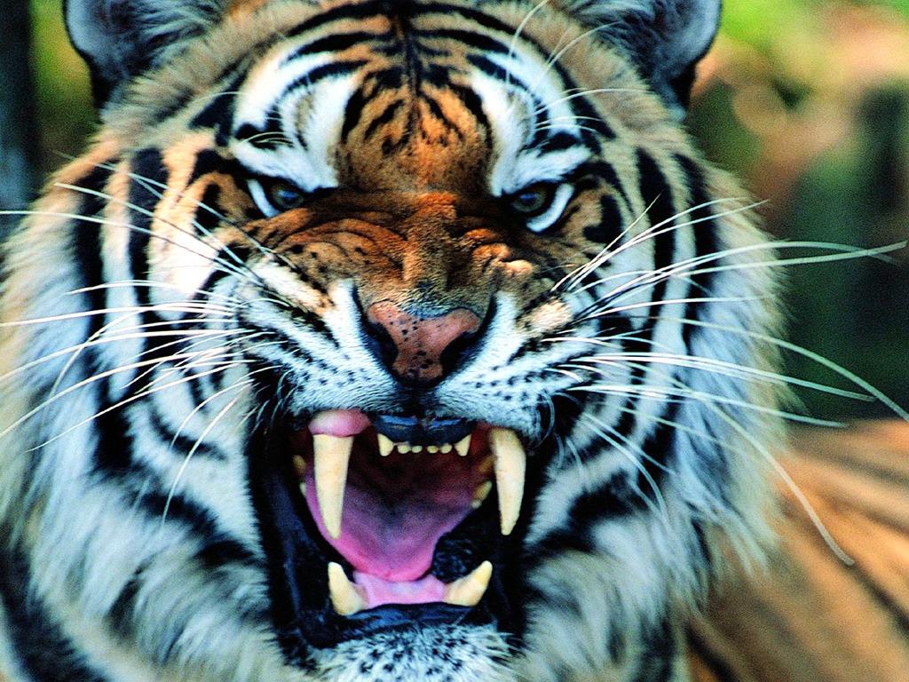タイガー 壁紙 - Tiger WALLPAPER
