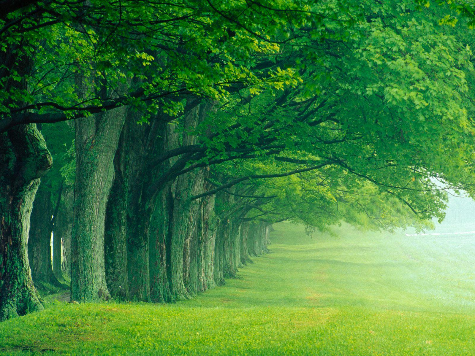 並木 壁紙 - A Row of Trees WALLPAPER
