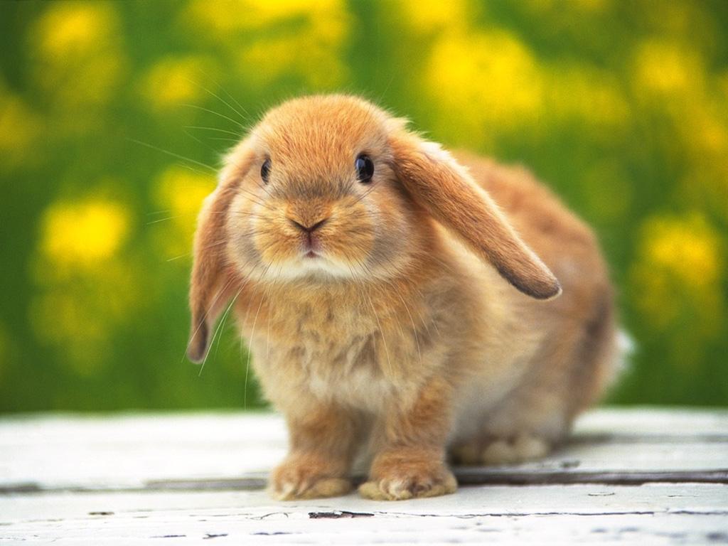ラビット 壁紙 - Rabbit WALLPAPER