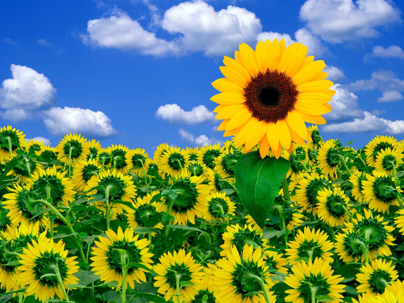 ヒマワリ 壁紙 - Sunflower WALLPAPER